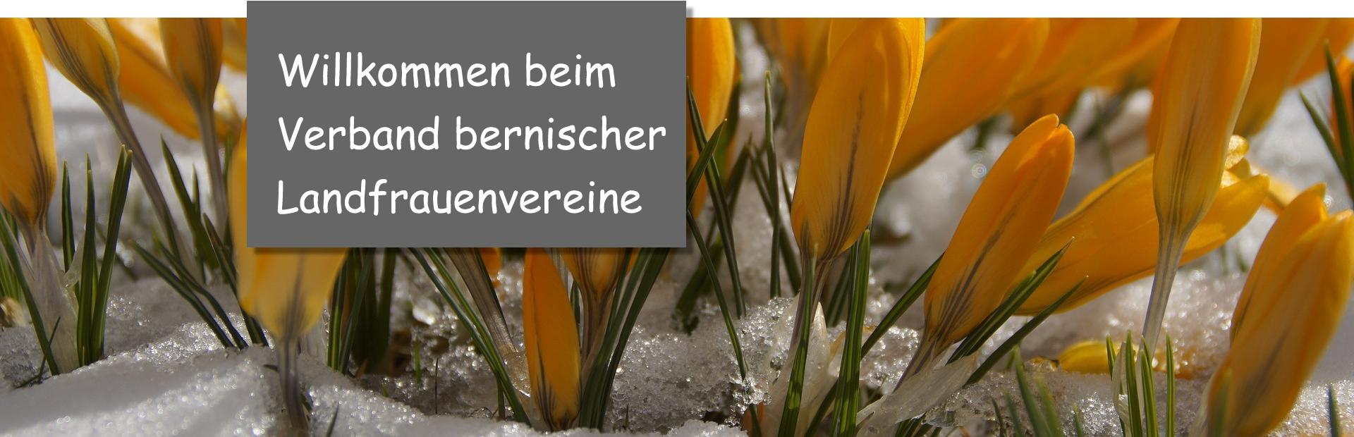 Krokusse-im-Schnee